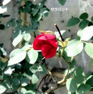 バラ開花宣言