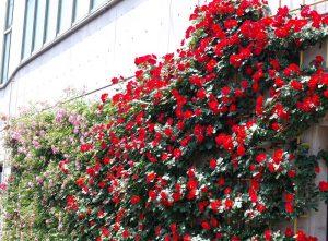 バラのお花見会