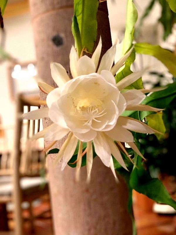 10月の月下美人、開花です♪